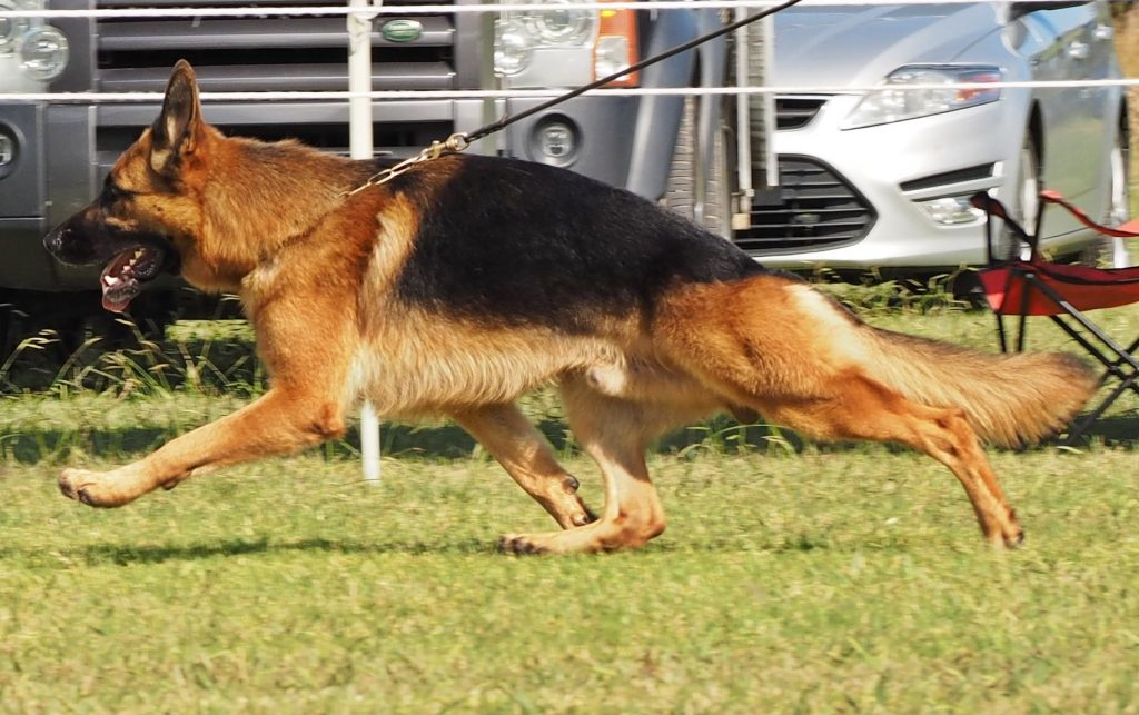 Results – The German Shepherd Dog League of NSW Inc